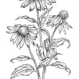 échinacée, semences, plantes médicinales